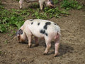 Pig rooting in field Royalty Free Stock Photo