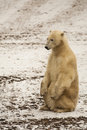 Muddy polar bear sitting erect on the snow covered soil with fur is a cream colored on it s back legs with front paws on its knees Royalty Free Stock Photography