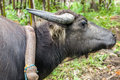 Muddy Water Buffalo Harnessed and Ready to Work Royalty Free Stock Image