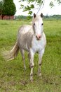 Muddy white farm horse Royaltyfri Bild