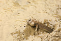Mudskipper fish Stock Photo