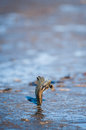 Mudskipper fish a jumping on muddy beach during low tide Royalty Free Stock Image