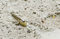 Mudskipper fish waiting for food Stock Photo