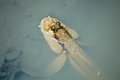 Mudskipper on water in thailand Royalty Free Stock Image