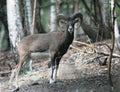 Mufflon dans la forêt Images libres de droits