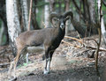 Mufflon in foresta Immagini Stock Libere da Diritti