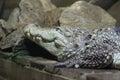 Mugger crocodile Royalty Free Stock Photo