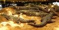 Mugger or marsh crocodiles Royalty Free Stock Photo