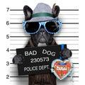 Mugshot dog bavarian with a police banner Stock Photography