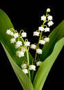 Muguet lillies Royalty Free Stock Photo