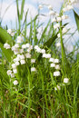 Muguet lily of the valley Royalty Free Stock Images
