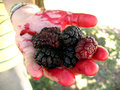 Mulberries in colored palm of hand. Royalty Free Stock Photo