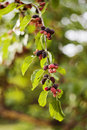 Mulberries ripening on a tree Stock Photography