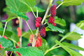 Mulberry berry fruit in nature twig Royalty Free Stock Photo