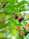 Mulberry branch Royalty Free Stock Photo