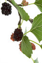 Mulberry branch on white Stock Image