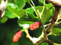 Mulberry Fruit leaf extract on tree Royalty Free Stock Photo