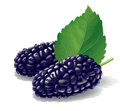 Mulberry illustration detailed a mulberries for best prints and other uses Royalty Free Stock Images