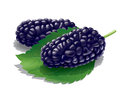 Mulberry illustration detailed a mulberries for best prints and other uses Stock Images