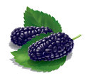 Mulberry illustration detailed a mulberries for best prints and other uses Stock Image