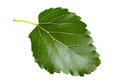 Mulberry leaf Royalty Free Stock Photo