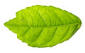 Mulberry leaf isolated a on a white Stock Images