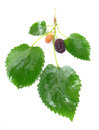 Mulberry with a leaf isolated on a white background Stock Photo