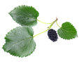 Mulberry with a leaf isolated on a white background Stock Photography