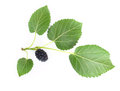 Mulberry with a leaf isolated on a white background Stock Photos