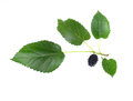 Mulberry with a leaf isolated on a white background Royalty Free Stock Photo