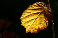 Mulberry leaf yellow backlit by sunlight Stock Images
