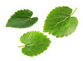 Mulberry leaves isolated on the white background Royalty Free Stock Photo