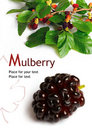 Mulberry (Morus) Stock Images