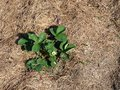 Mulched with grass strawberry plants chopped Royalty Free Stock Photo
