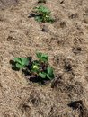 Mulched with grass strawberry plants chopped Stock Image