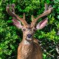 Mule Buck Deer Big Rack Antlers Fuzz New Velvet Head Trophy Royalty Free Stock Photo