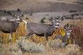 Mule deer bucks wildlife Royalty Free Stock Photo