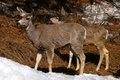 Mule Deer 7 Royalty Free Stock Photos