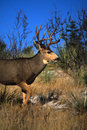 Mule Deer Buck Royalty Free Stock Photos