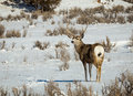 Mule Deer Buck Royalty Free Stock Photo