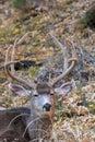 Mule Deer Buck Bedded Royalty Free Stock Photo