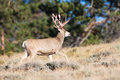 Mule deer buck coming out of velvet Royalty Free Stock Photo