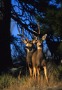 Mule Deer Buck and Doe Royalty Free Stock Photo