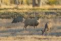 Mule Deer Buck and Doe Royalty Free Stock Photo