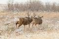 Mule Deer Buck and Doe in Rut Royalty Free Stock Photo