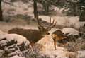 Mule Deer Buck and Doe in Snowstorm Royalty Free Stock Photo