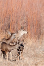 Mule deer buck and does Royalty Free Stock Photo