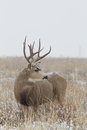 Mule deer buck a large standing in a snow covered field Royalty Free Stock Images