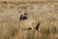 Mule deer buck looking back a standing over his shoulder in a field Royalty Free Stock Photography