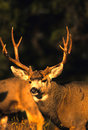 Mule Deer Buck Portrait Royalty Free Stock Photo